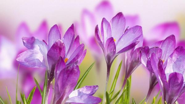 crocus_spring